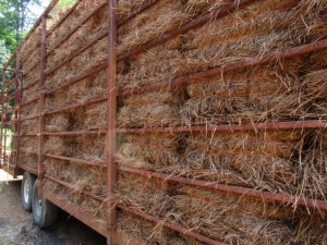 Long Leaf Pine Straw