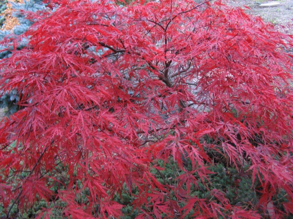 Red Dragon Japanese Maple Japanese Maple Trees T Bones Nursery